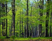 山毛榉春天木头 库存照片