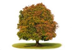 山毛榉查出的唯一结构树 免版税图库摄影