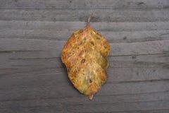 山毛榉树下落的黄色叶子在秋天 免版税库存照片