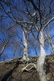 山毛榉树和根 免版税库存图片