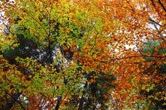 山毛榉树在森林里在小阳春 库存照片