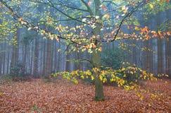 山毛榉树在秋天森林里 免版税库存图片