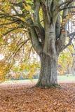 山毛榉树在秋天 图库摄影