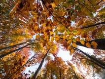 山毛榉树在秋天 免版税库存照片