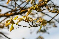 山毛榉树栎属robur timuki,树的小叶子只开始增长 免版税库存图片