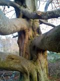 山毛榉树树干和分支 免版税库存图片