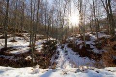 山毛榉树森林在一个晴天冬天 免版税库存照片