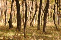 山毛榉树森林 免版税库存照片