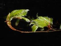 山毛榉树的新鲜的叶子在森林里 免版税图库摄影
