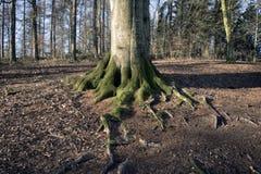 山毛榉根和树特写镜头 库存图片