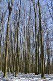 山毛榉森林冬天 库存照片