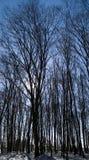 山毛榉森林冬天 免版税图库摄影