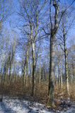 山毛榉森林冬天 库存图片