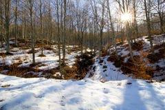 山毛榉森林在一个晴天冬天 库存图片