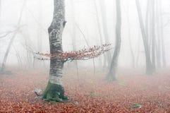 山毛榉森林在与薄雾的秋天 库存照片