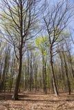 山毛榉森林在希尔弗萨姆附近的春天在sunn的荷兰 免版税库存照片