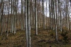 山毛榉森林在早期的春天 库存图片