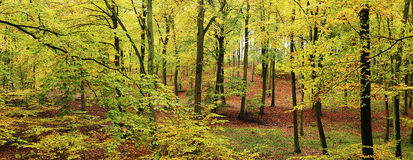 山毛榉森林在秋天-全景 库存图片