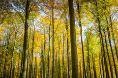 山毛榉森林在秋天 水平 免版税库存照片
