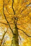 山毛榉森林在秋天 免版税库存照片