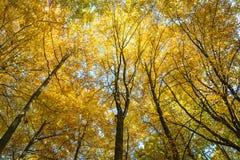 山毛榉森林在秋天 免版税库存图片