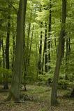 山毛榉森林法语橡木 免版税库存照片