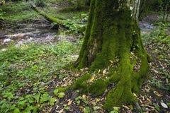 山毛榉森林,深绿色12 免版税库存图片