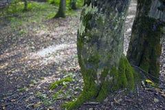 山毛榉森林,深绿色14 库存照片