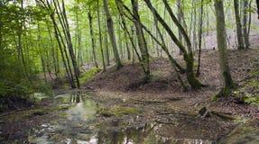 山毛榉森林,深绿色19 免版税库存照片