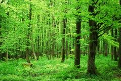 山毛榉森林 免版税图库摄影