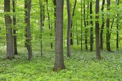 山毛榉森林 库存图片