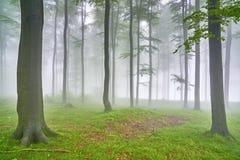 山毛榉森林 免版税库存照片