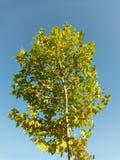 山毛榉植物学加拿大结构树年轻人 库存图片