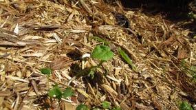 山毛榉植物学加拿大结构树年轻人 免版税库存照片