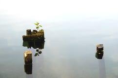 山毛榉植物学加拿大结构树年轻人 免版税库存图片