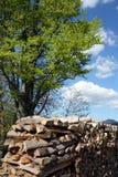 山毛榉欧洲 免版税库存照片