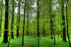 山毛榉的木材 免版税图库摄影