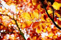 山毛榉秋天结构树 免版税图库摄影