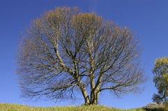 山毛榉空的结构树 免版税库存图片
