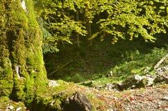山毛榉老结构树 免版税库存照片