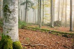 山毛榉(山毛榉)森林II 免版税库存照片