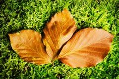 山毛榉Fagion sylvaticae在秋天颜色离开在自然绿色生苔森林地板背景 免版税库存图片