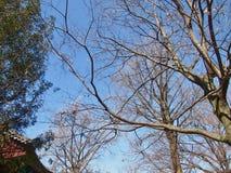 山毛榉japonica,在autu的日本蓝色山毛榉inubuna brenches 库存图片