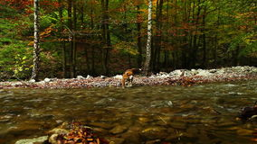 山河在与猎人小猎犬狗HD英尺长度的秋天 影视素材
