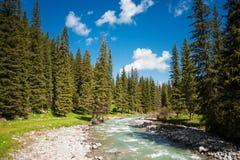 山河在杉木森林里 免版税库存照片