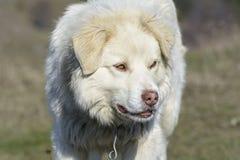山牧羊犬 免版税库存图片