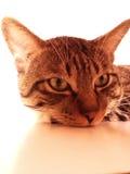 山猫 免版税库存照片