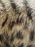 山猫 免版税图库摄影