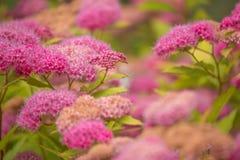 山甜玫瑰色的绣线菊类的植物- 免版税图库摄影