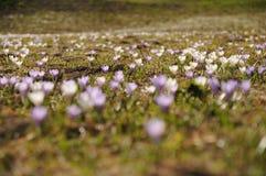 山番红花领域在奥地利阿尔卑斯 免版税库存图片